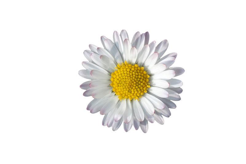 Beauty In Nature Blossom Blühen Blüte Close-up Cutouts Daisy Flower Flower Head Fragility Freigestellt Freshness Growth Gänseblühmchen Nature