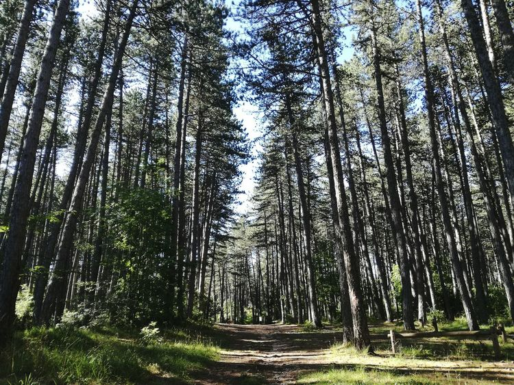 Black Pine Forest Summer Days August Showcase Landscape_photography Outdoors Relaxing Moments Naturelovers Silence Of Nature Beauty In Nature No People Walk In The Woods