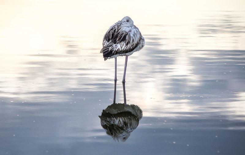 Bird preening in lake