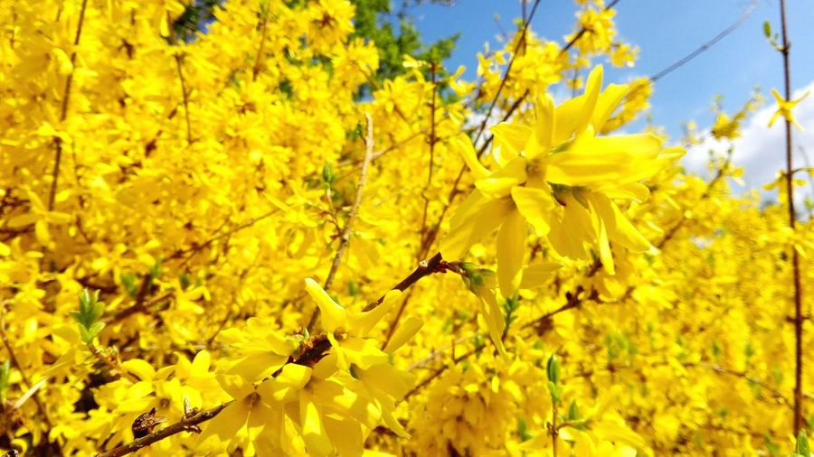 Forsythia Yellow Explosion Taking Photos Check This Out Spring Has Arrived April2016 Spring! Spring 2016 Showcase April The Places I've Been Today How's The Weather Today? Things I Like Nature_collection A Walk In The Park Yellow