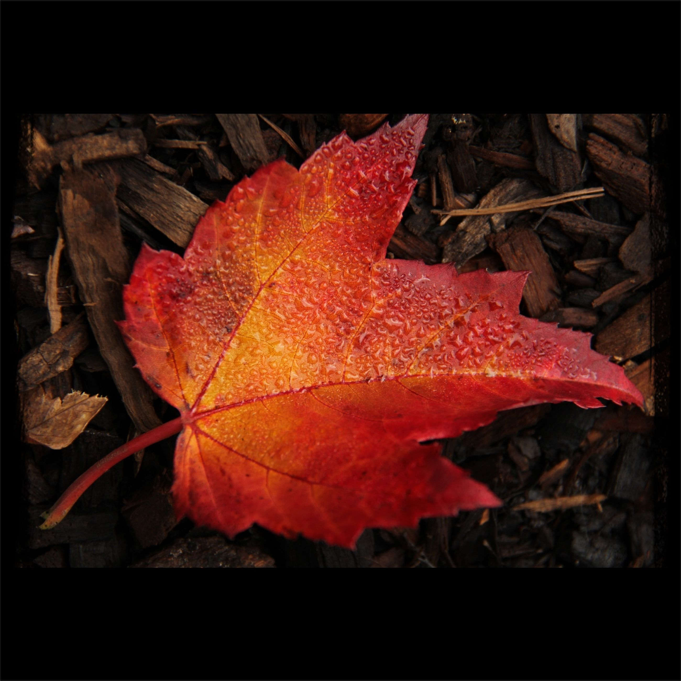 autumn, leaf, change, maple leaf, close-up, season, leaf vein, leaves, dry, orange color, transfer print, auto post production filter, red, natural pattern, fragility, fallen, nature, high angle view, aging process, outdoors
