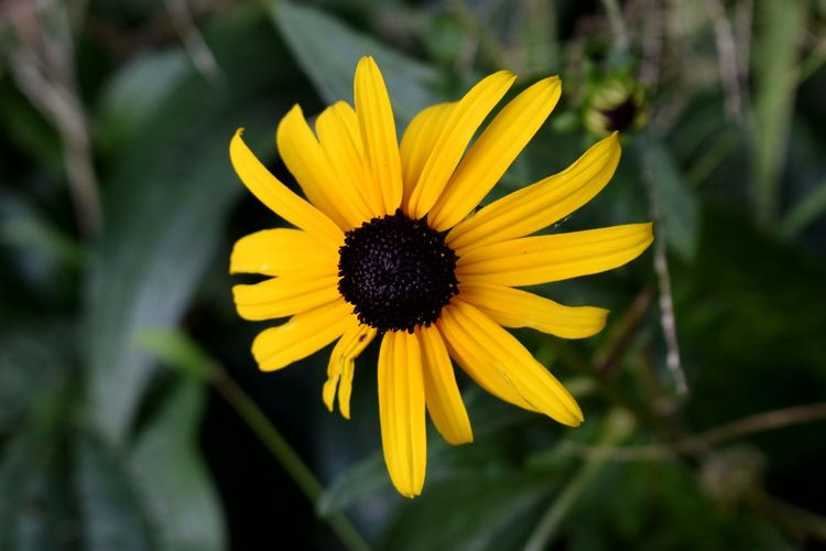 Flower Petal Flower Head Fragility Nature Yellow Beauty In Nature Freshness Pollen Growth Plant Close-up Blooming Outdoors Day Sunflower No People Black-eyed Susan