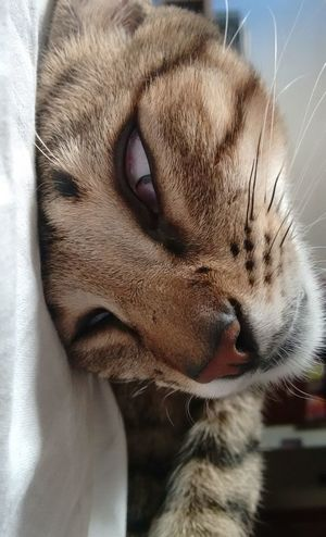 Animal Themes Close-up Day Domestic Animals Domestic Cat Eyes Closed  Feline Indoors  Mammal No People One Animal Pets Relaxation