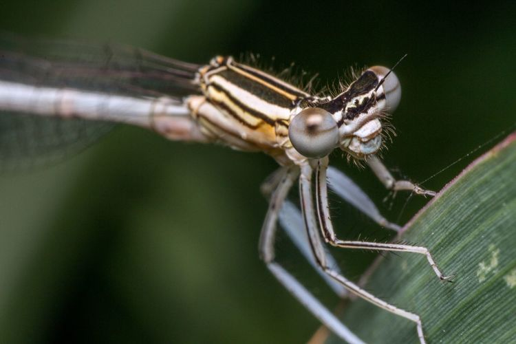 Macro shot of white-legged damselfly on leaf