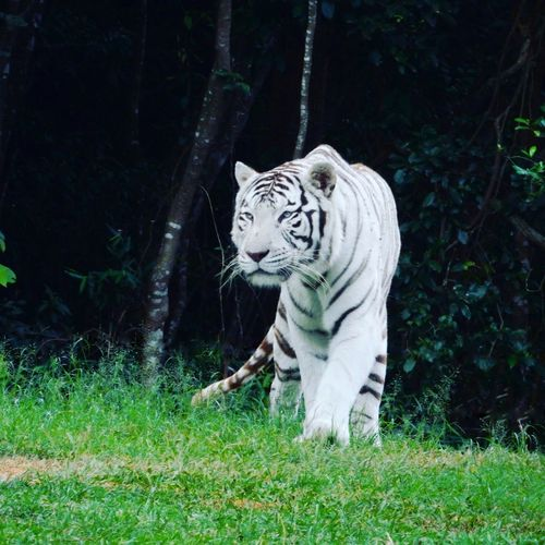 Tiger White Tiger Grass