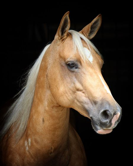 Candy the quarter horse One Animal Animal Animal Themes Animal Wildlife Black Background Horse Mammal Animal Body Part Close-up Vertebrate Domestic Animals Animal Head  Studio Shot No People Looking Looking Away Brown Livestock Domestic Focus On Foreground