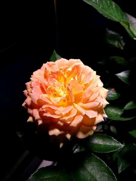 Flower 開花 Rose🌹 Beautiful Blooming