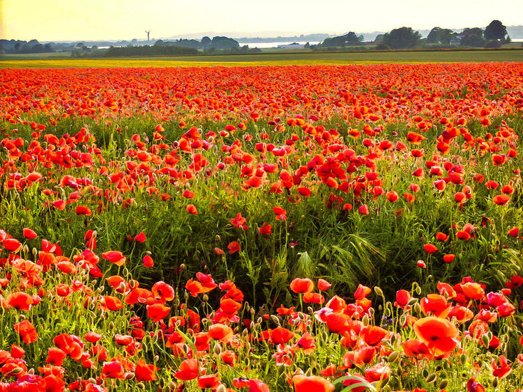 Flowering Plant Flower Plant Growth Red Landscape Environment No People Abundance Flower Head Rural Scene Tranquility Springtime Poppy Outdoors Flowerbed Land Beauty In Nature
