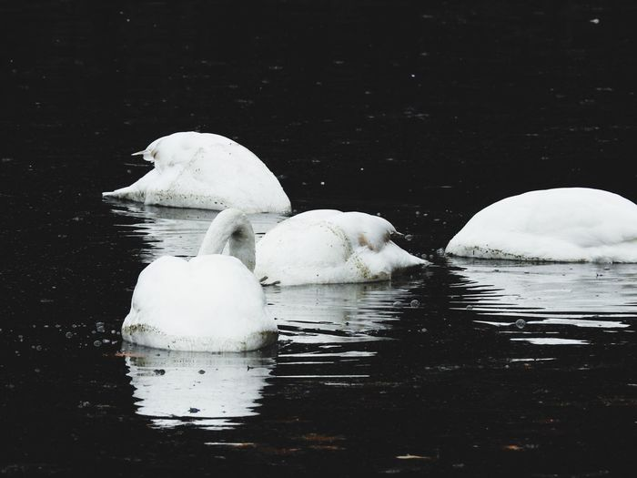 Sometimes you just need to get a different point of view Waterfront Animal Themes Animals In The Wild Swimming Nature No People Water Animal Wildlife Bird Lake Outdoors Swan Beauty In Nature Day Mammal