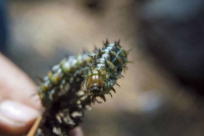 Close-up of caterpillar