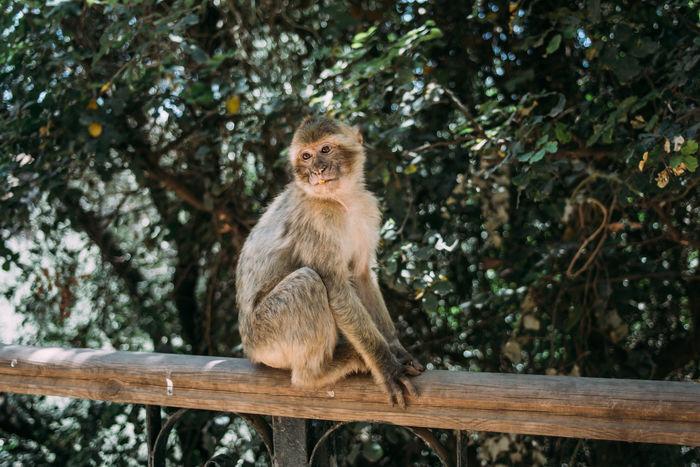 Animal Wildlife Macaque Mammal Monkey Morocco Nature One Animal Outdoors Sitting
