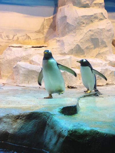 Penguins Penguins Penguin Moscow Russia Russia2018 Zoo Water Penguin Rock Solid Animal Rock - Object Nature Animal Themes Beauty In Nature Animals In The Wild No People Day Group Of Animals Animal Wildlife Sea Bird Land Landscape Outdoors