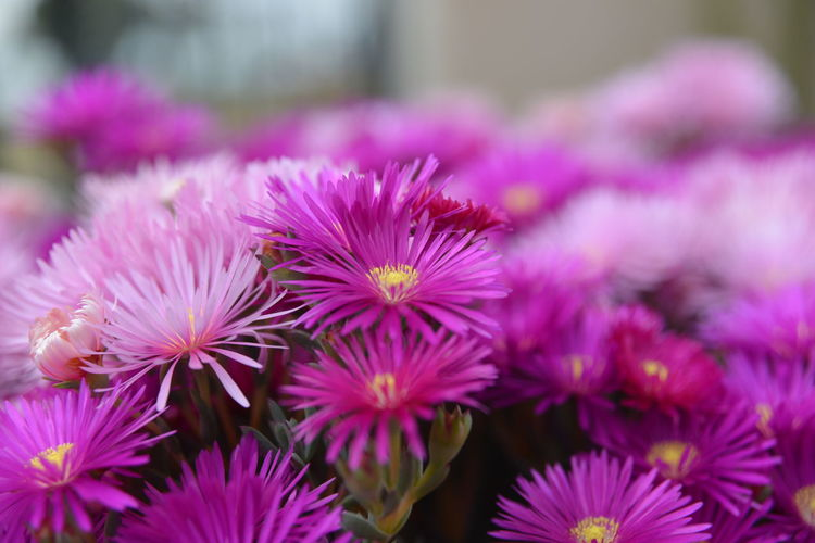 Beauty In Nature Blooming Flower Flower Head Freshness Nature Outdoors Petal Plant Purple