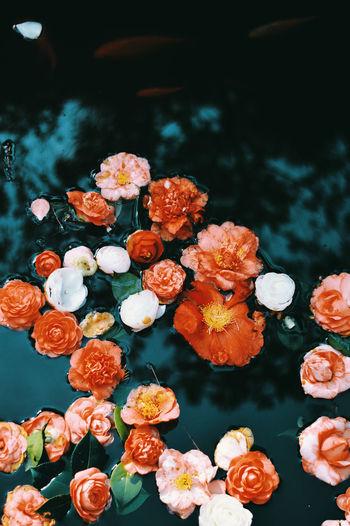Flower Water Flowering Plant Plant Freshness Beauty In Nature Flower Head Close-up No People Outdoors Nature Lake Georgia Botanical Garden Camellia Beautiful Reflection TheWeekOnEyeEM EyeEmNewHere EyeEm Best Shots EyeEm Selects Flowers