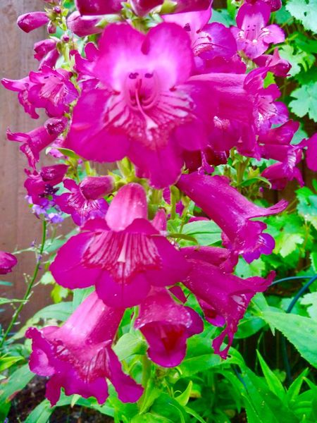 Penstemon My Garden English Garden Flowers & Plants Macro Photography Nature