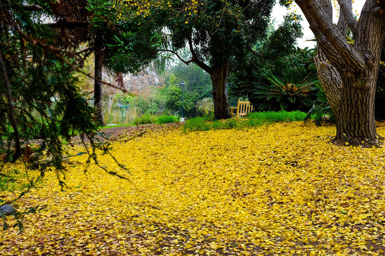 California Winters Tree Nature Growth Yellow Green Color No People Beauty In Nature Outdoors Branch Day Sky Freshness Light And Shadow Grass Green Color Yellow Leaves Low Angle View Fujifilm_xseries Straightfromcamera Nature Tree Trunk Bench Plant Close-up Backgrounds