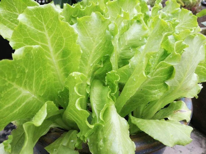 Salad Vegetable
