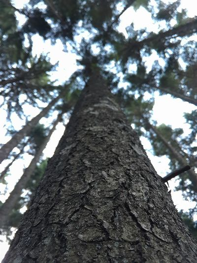 Tree Tree Trunk Nature Low Angle View No People Tranquility Growth Beauty In Nature Sky Day Outdoors Forest Green Color Close-up Nature Beauty In Nature Tree
