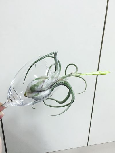 Plants 🌱 special Airplant