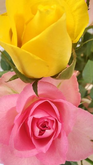 Roses World 🌹❤️🌹 Today About Love Yellow And Pink Rose 🌹