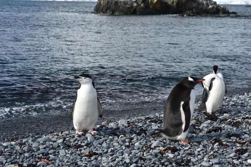 Antarctic Antarctic Peninsula Antarctica Chinstrap Penguin Frozen Ice Penguin Penguin Colony Penguins Snow Winter Deception Island