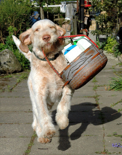 Spinone dog comes running, carrying a basket with groceries. Animal Themes Assistant Baket Carry Day Dog Dog On Job Domestic Animals Enthusiastic Fast Full Length Groceries Hovering Job Mammal No People One Animal Outdoors Pets Service Dog Shadow Spinone Spinone Italiano Sunlight