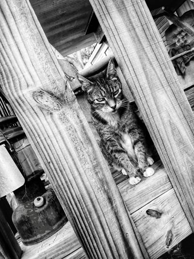 really??? Kiiller Kitty Really?  Just Woke!  Maine Coon Cat Mad Cat Rough Textures Lantern Pine Wood Porch High Angle View Close-up