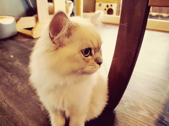 EyeEm Selects Pets One Animal Domestic Animals Animal Themes Cute Day Coffee ☕ Cafe Animal Cafe Cat Cafe Hanlim Jeju🏝 JEJU ISLAND