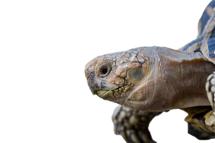 Close-up of turtle against white background