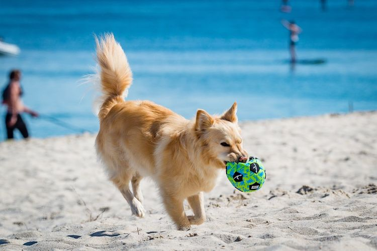 Dog Sand Beach Pets Animal Themes Domestic Animals Mammal One Animal Sea Outdoors Nature Water Day Sky Beauty In Nature One Person People