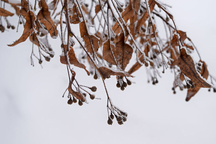 Seeds Beauty In Nature Branch Close-up Cold Temperature Day Dead Plant Dried Plant Fragility Frozen Hanging Linden Linden Tree Nature No People Outdoors Snow Snow Covered Tranquility Tree Tree_collection  Twig Weather Wilted Plant Winter