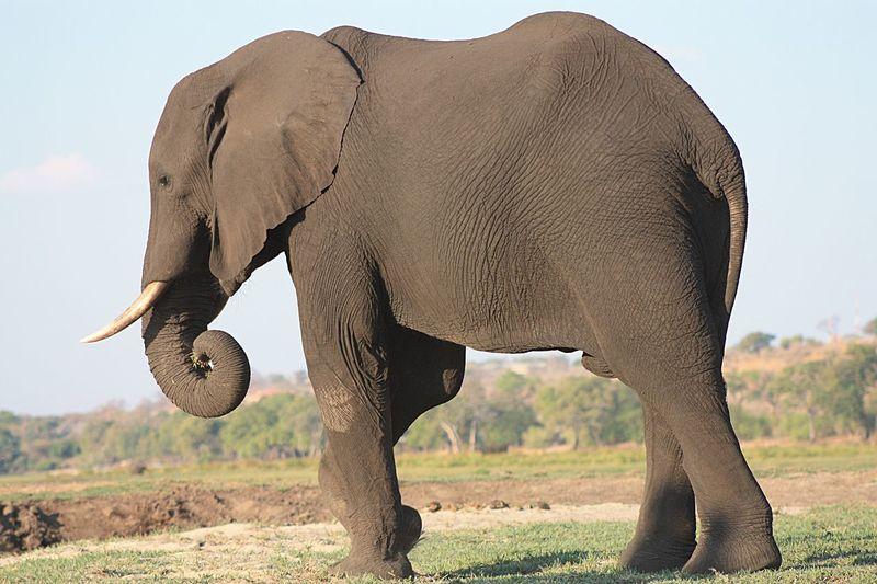 Male Elephant EyeEm Selects Elephant Animal Themes Animals In The Wild Animal Mammal Animal Wildlife African Elephant Safari One Animal Vertebrate Landscape No People Nature Tusk Grass Side View