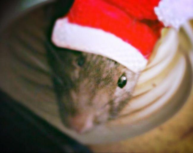 Animal Cutie Pet ᴡᴇɪʜɴᴀᴄʜᴛ Xᴍᴀs Ratties Rattie Ratstagram Ratte Rats Rat ᴄʜʀɪsᴛᴍᴀs ᴛɪᴍᴇ Animals ᴡɪɴᴛᴇʀ ᴡᴇɪʜɴᴀᴄʜᴛᴇɴ