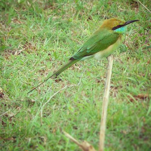 Bird Indianbeeeater Green Nature sandeepmv samsungs4zoom colorofindia bangalore lonelyplanetindia lonelyplanet icu_india exploringindia vscogang vscogrid vscovibe vsco VSCOcam india_gram incredibleindiaofficial indiapictures explore TFlers roadtrip