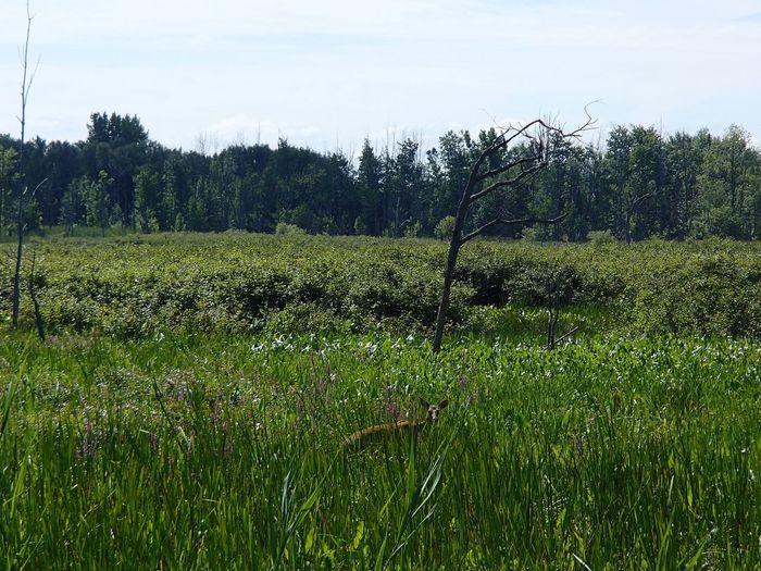 Presque caché: cerf de Virginie dans les marécages de l'Île St-Bernard Deer White Tailed Deer Plant Tree Land Field Sky Green Color Beauty In Nature Nature Scenics - Nature Outdoors Grass