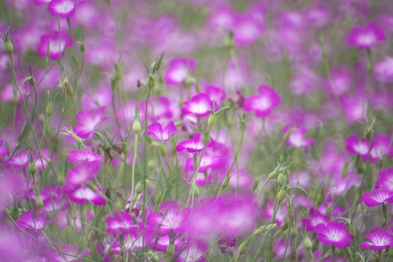 鴻巣ポピーハッピースクエア Pentax K-3 鴻巣花まつり 鴻巣ポピー・ハッピースクエア 麦なでしこ Flower