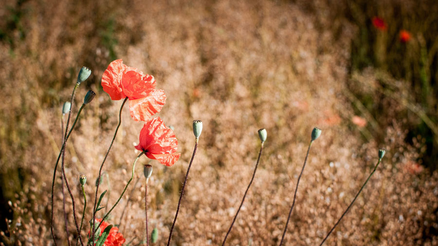 Close-up of red poppy flowers growing in field