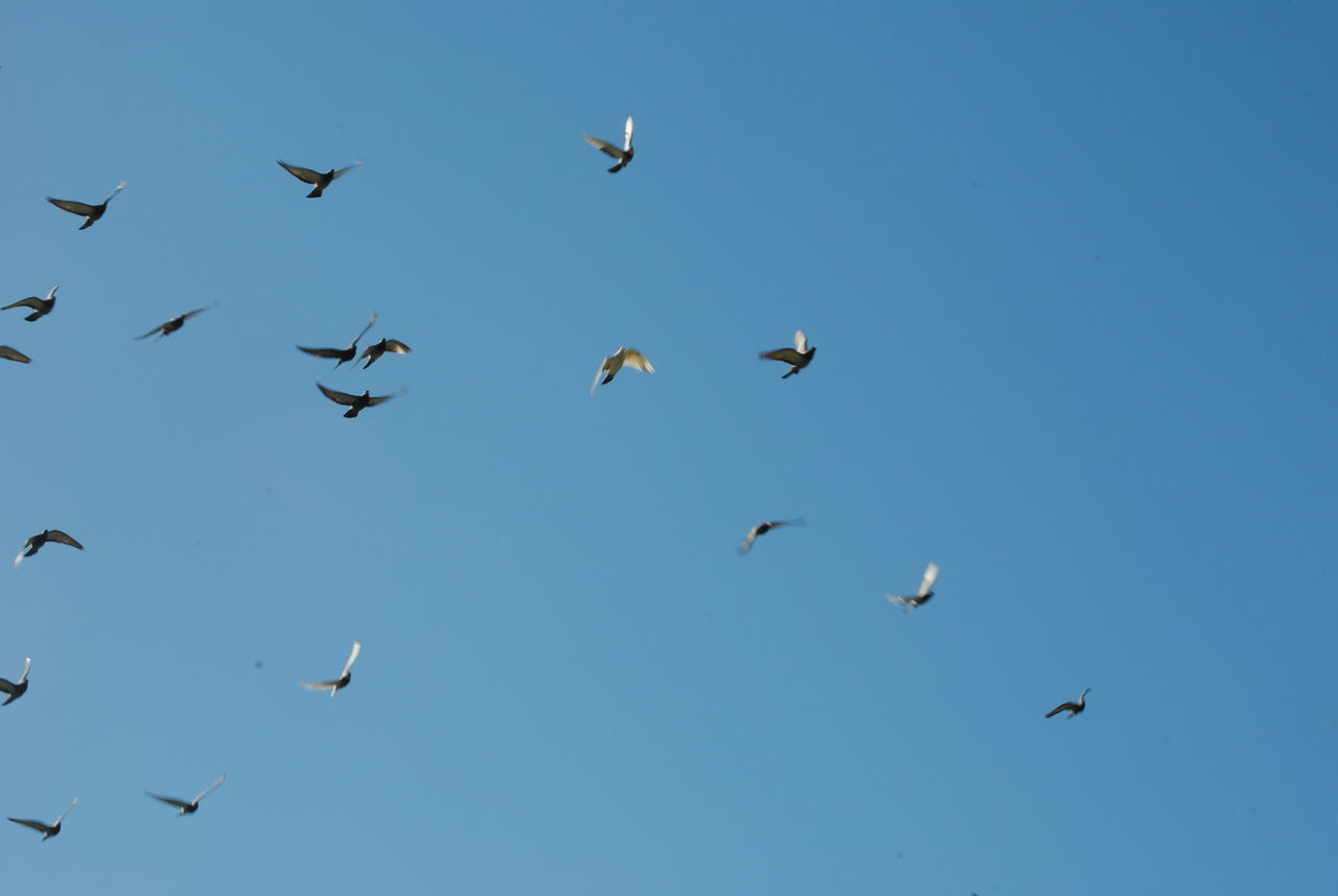 animals in the wild, bird, animal themes, flying, large group of animals, animal wildlife, flock of birds, mid-air, nature, migrating, spread wings, no people, beauty in nature, low angle view, outdoors, day, seagull, clear sky, sky