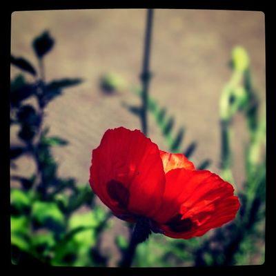 papaver Flower Lobostudio Lobo_flowers