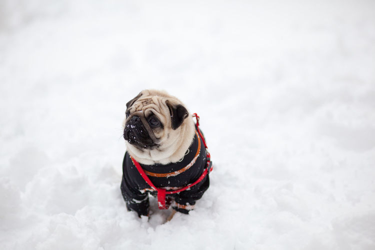 Pug dog on snow covered field