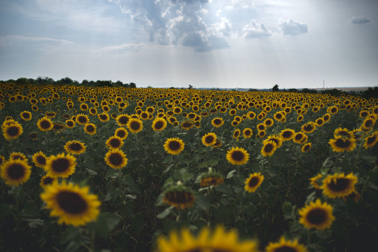 Beauty In Nature Cloud - Sky Day Environment Field Flower Flower Head Flowering Plant Freshness Growth Land Landscape Nature No People Outdoors Plant Selective Focus Sky Sunflower Tranquil Scene Yellow
