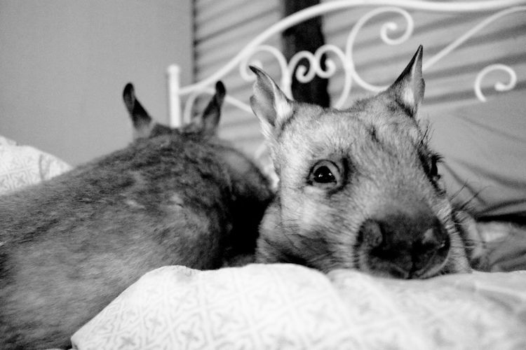 Wombats Sanctuary  Rescued Animal Love Black And White Patient EyeEm Selects Pets Portrait Looking At Camera Home Interior Close-up