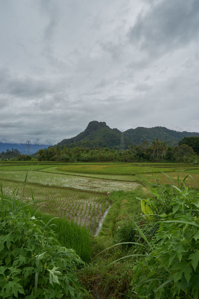 field Agriculture Beauty In Nature Cereal Plant Cloud - Sky Cultivated Land Day Field Grass Green Color Growth Landscape Mountain Mountain Range Nature No People Outdoors Rice Paddy Rural Scene Scenics Sky Tranquil Scene Tranquility Tree West Sumatra-indonesia