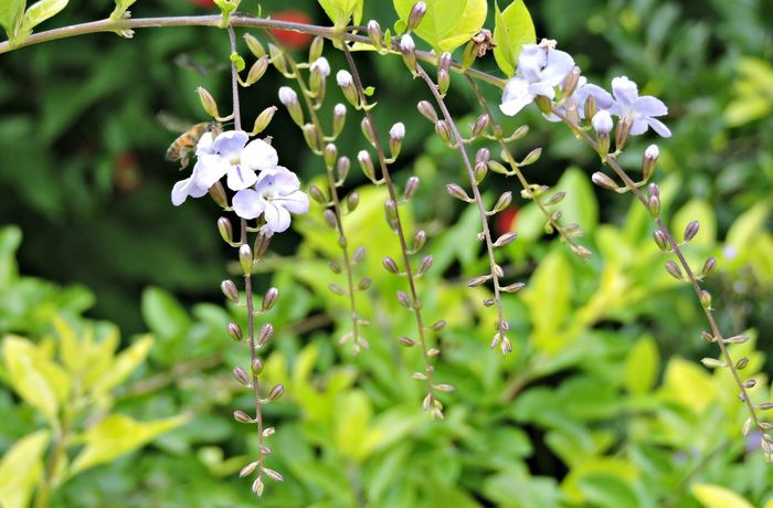 Abelha Baterfly Garden Brasil ♥ Coisa De Deus Flower Macro Nature Nature Natureza Perfeita♡♥ Peruibe-SP Peruíbe Polinización Polinization