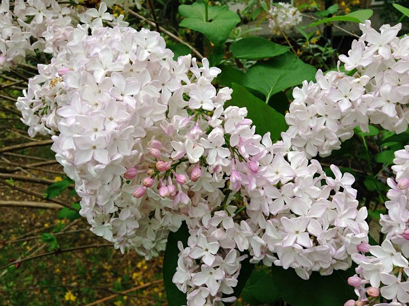 Flowers Lilac Flower Syringa