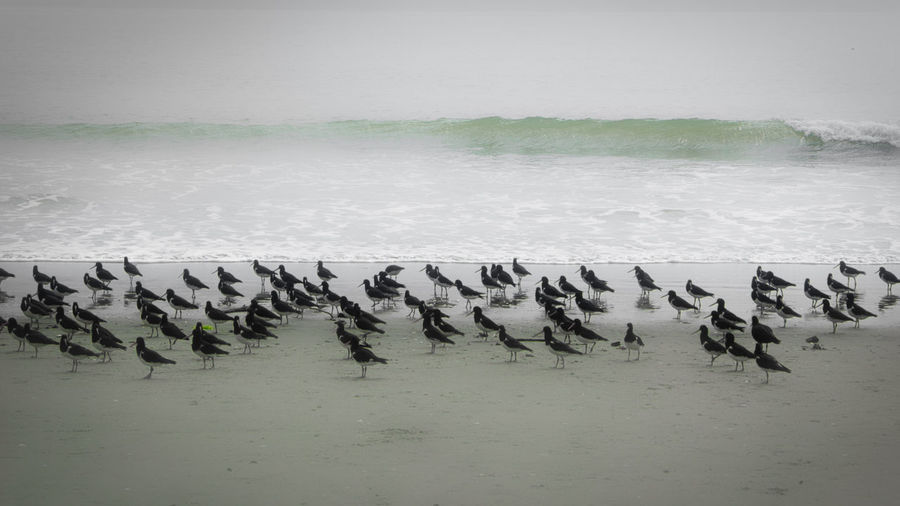 A small part of a group of over 800 oystercatchers on our local beach after a huge, destructive king tide New Zealand Wildlife Animal Themes Animals In The Wild Beach Beauty In Nature Bird Colony Day Large Group Of Animals Nature New Zealand Natural No People Outdoors Oystercatcher Sea Sky Water Visual Creativity The Creative - 2018 EyeEm Awards