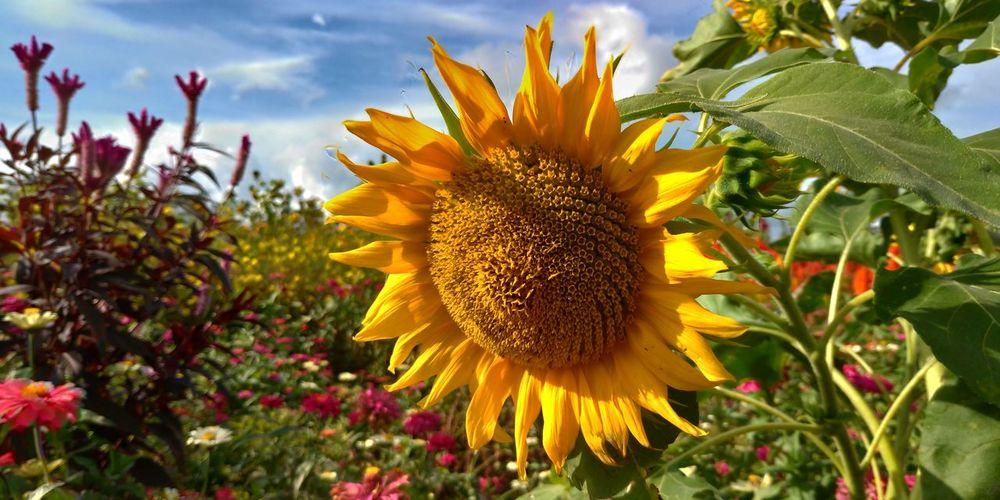 Himawari Zenfone Photography Zenfone5 Zenfone_id Flower Head Flower Petal Leaf Summer Sky Close-up Plant Cloud - Sky Sunflower