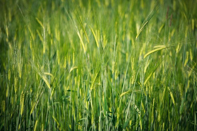 Full frame shot of barley growing on field