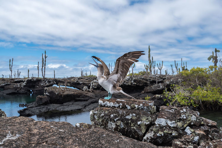 Galapagos Islands Ecuador South America Galapagos Birdwatching Rock Formation Lava Formations Lava Island Wonderful Nature Colorful Colour Blue Blue Footed Boobie Feet Colorful Animal Isla Isabela Nature Water Cloud - Sky Sky No People Outdoors Day Beauty In Nature Bird Animal Themes