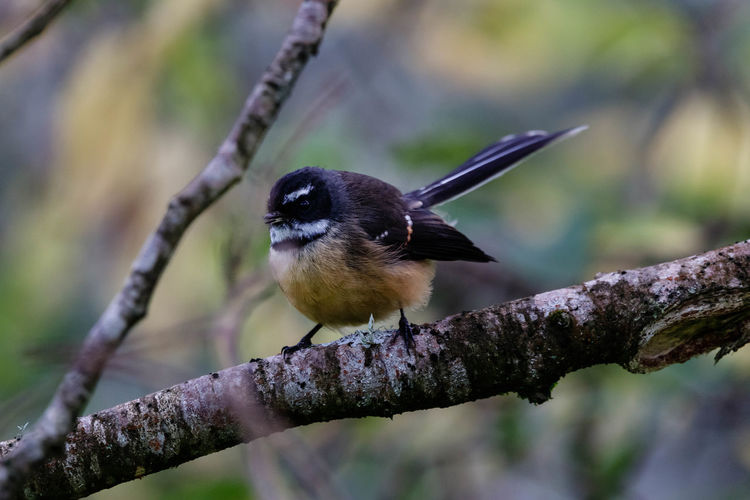 The fantail is one of New Zealand's best known birds, with its distinctive fanned tail and loud song, and particularly because it often approaches within a metre or two of people. Its wide distribution and habitat preferences, including frequenting well-treed urban parks and gardens, means that most people encounter fantails occasionally. They can be quite confiding, continuing to nest build or visit their nestlings with food when people watch quietly. http://nzbirdsonline.org.nz/species/new-zealand-fantail Animal Wildlife Tree Branch Perching Bird Beauty In Nature Close-up Nature Fantail EyeEm Nature Lover